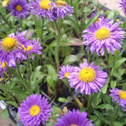 ASTER alpinus 'Dunkle Schöne' (Aster de printemps - Aster des Alpes) : Feuillage vert, étalé. Fleurs rappelant les marguerites, à cœur jaune d'or. Bienvenues parmi les floraisons bulbeuses et dans les bouquets printaniers.  Touffes étalées. Fleurs semi-doubles bleu violet foncé à disque central jaune.