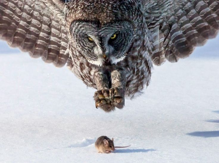 Dinner and Diner - A little mouse in the snow is moments away from becoming this huge owl's meal unless the photographer makes a quiet noise that distracts the hunter. - DdO:) - http://www.pinterest.com/DianaDeeOsborne/great-photo-compositions/ - An amazing photograph using long distance telephoto zoom lens - and a LOT of patience in the wilderness, and luck, waiting for such an ART capture of animals in nature, in a cold environment! Pinned via Jeremy2106's PHOTOGRAPHY board.