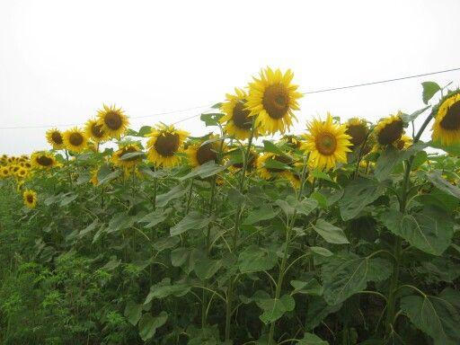 Hongaarse zonnebloemen