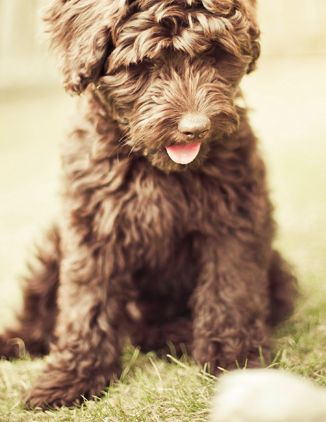 Brown Labrador Retriever x Standard Poodle Labradoodle Puppy Dogs Hound Pups Hunting Puppies