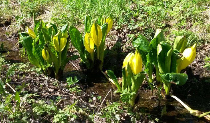 Lysichiton americanus #keltamajavankaali #skunkkalla #mustila #arboretum