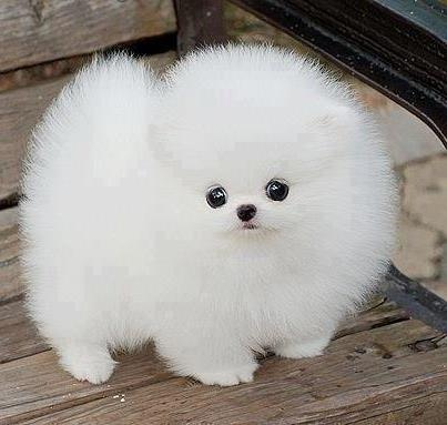 OMG! a powder puff..lol (With images) Fluffy dogs
