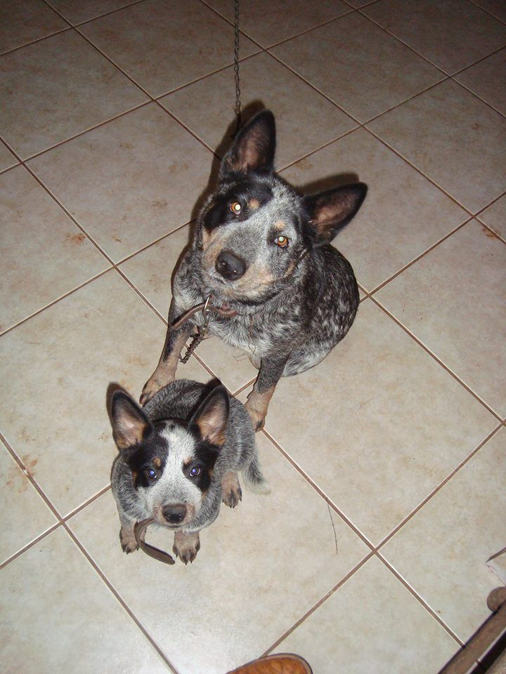411 best Oh How We Love Our Blue Heelers images on Pinterest