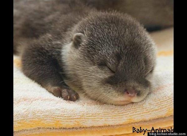 Bebek hayvanlar    #beaver   #babybeaver  #cutebeaver  #littlebeaver  #funnybeaver  #sweetbeaver  #cutebabybeaver  #babyanimals  #cuteanimals  #yavruhayvanlar  #bebekhayvanlar