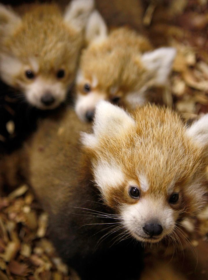 Requested: Red panda. Unknown Photographer.