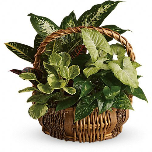 Emerald Garden Basket - Amazing Birthday Presents Forever You don't have to follow the yellow brick road to find this emerald jewel. All kinds of gorgeous greens fill this basket that makes a perfect gift for men or women. Celebration or sympathy. Birthday or any day. So beautiful and bountiful it will deliver any message eloquently.