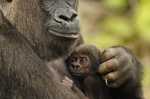 Baby Gorillas Wallpaper HD Wallpapers