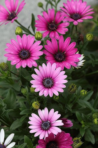 Chrysanthemum – Available as large individual showy blooms, or the spray variety. Very long lasting