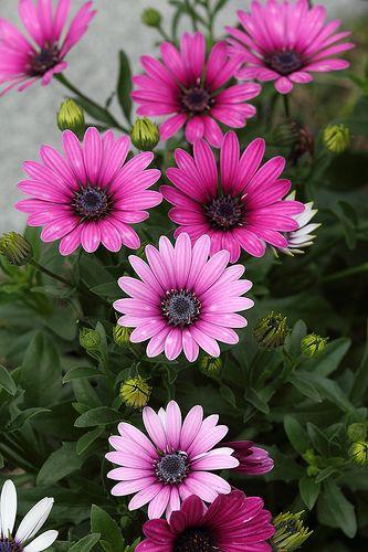 Chrysanthemum beauty