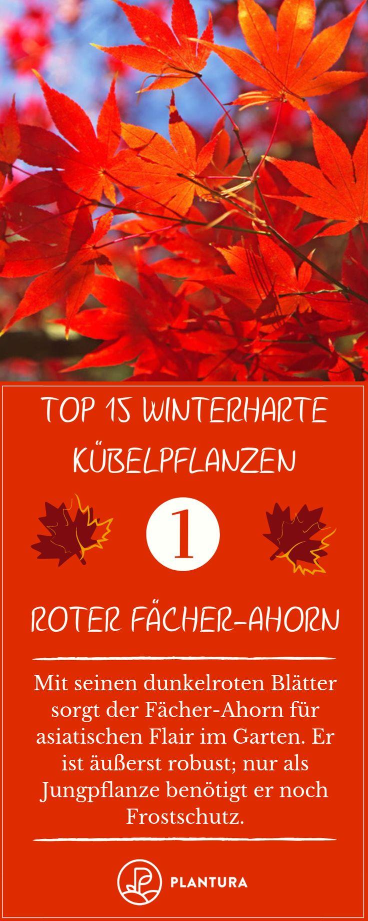 Winterharte k belpflanzen unsere top 15 topfpflanzen for Topfpflanzen winterhart