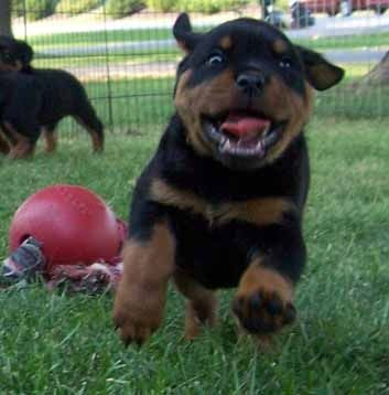 German Rottweiler puppy | Oh My Goodness!
