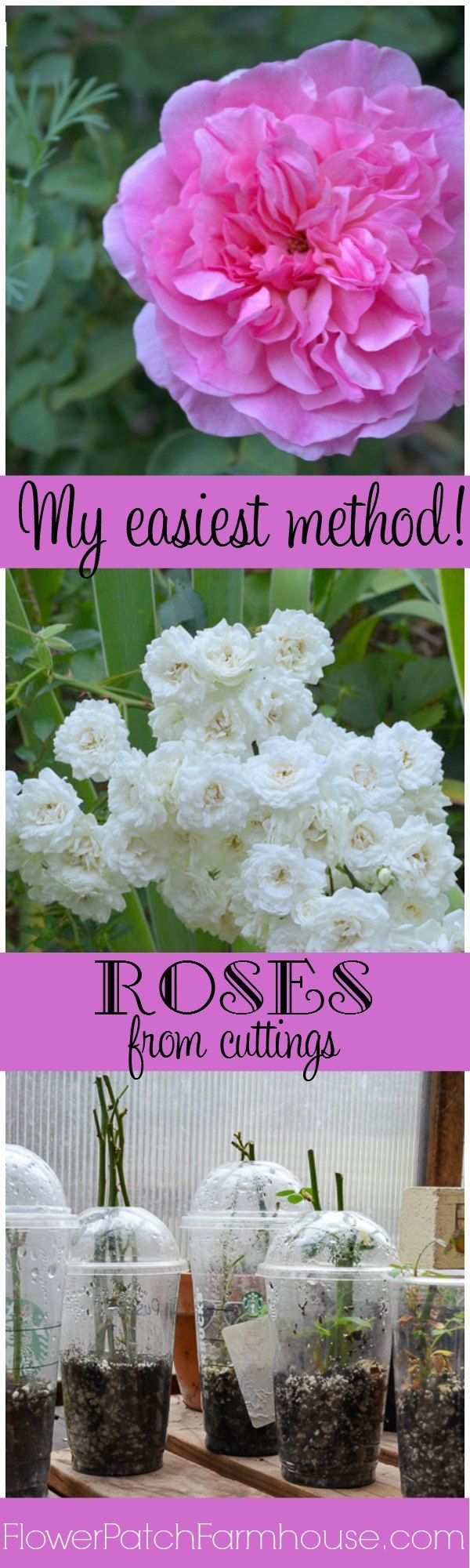 Super simple method to root roses! No fancy equipment and great for a kids project. I have had great success with this method, I LOVE it. FlowerPatchFarmhouse.com