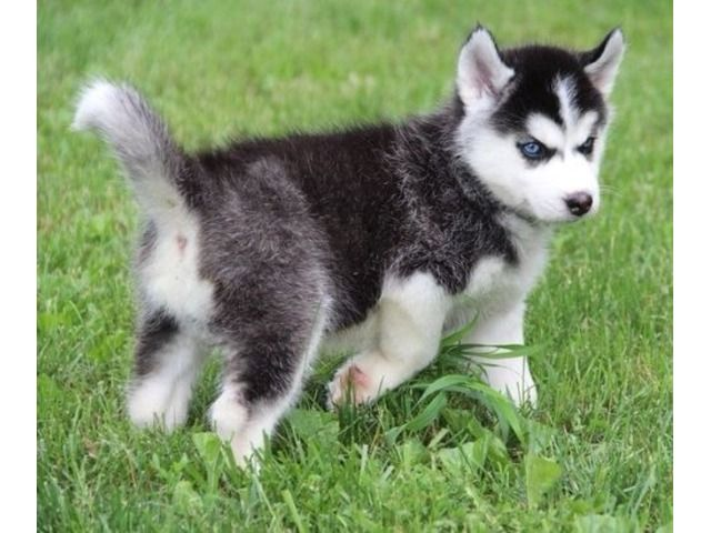 Home Trained Siberian Husky Puppies Available Siberian Husky