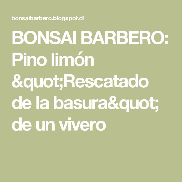 "BONSAI BARBERO: Pino limón ""Rescatado de la basura"" de un vivero"