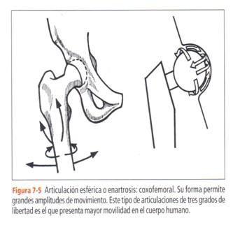 Diartrosis (ENARTROSIS - ARTICULACION ESCAPULO-HUMERAL Y COXO-FEMORAL)