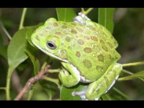 Barking Tree Frog Sounds