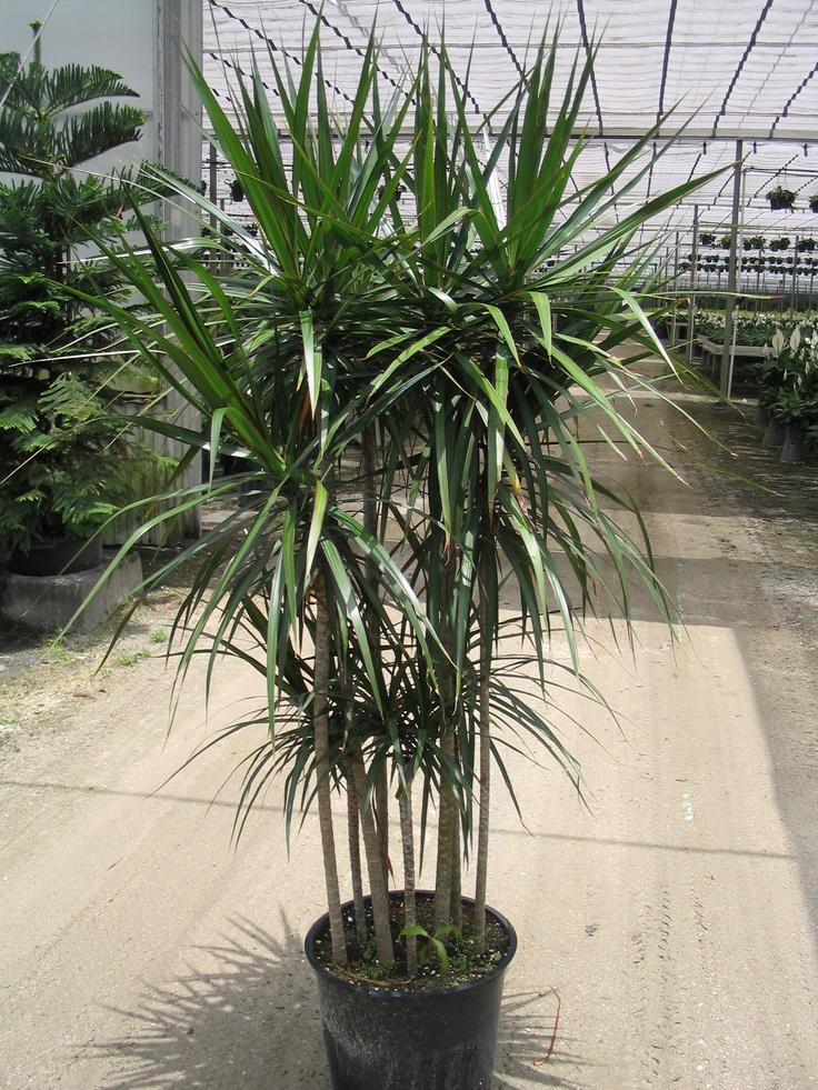 dracaena: Dracaena Marginata, Gardening Indoor Plants, Yard Sales, Sales Today, Mis Plantas, Dream Gardens