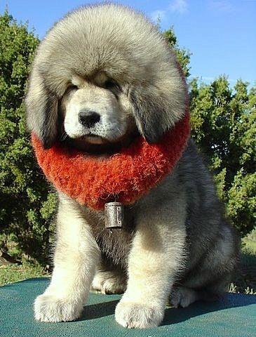Cachorro de mastín tibetano.