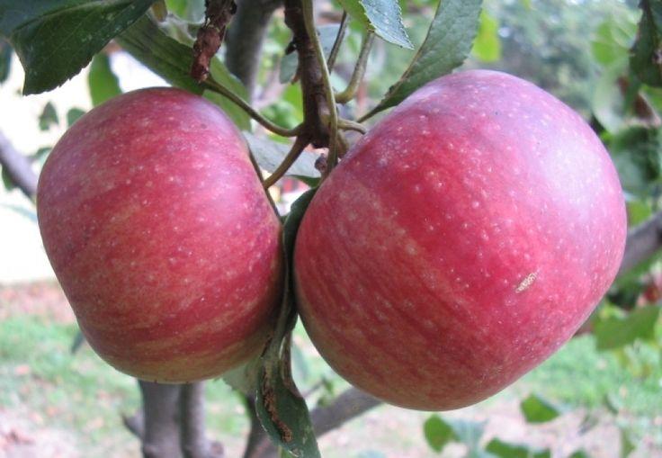 La mela annurca, Caianello