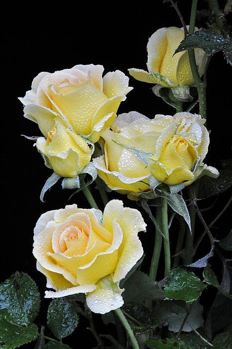 Yellow Roses In The Rain Print By David Lunde