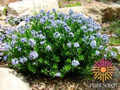This Widely Adaptable Western Native Thrives In Ordinary Gardens Or  Unwatered Xeriscape. Sapphire Blue Stars From April To Early Summer.
