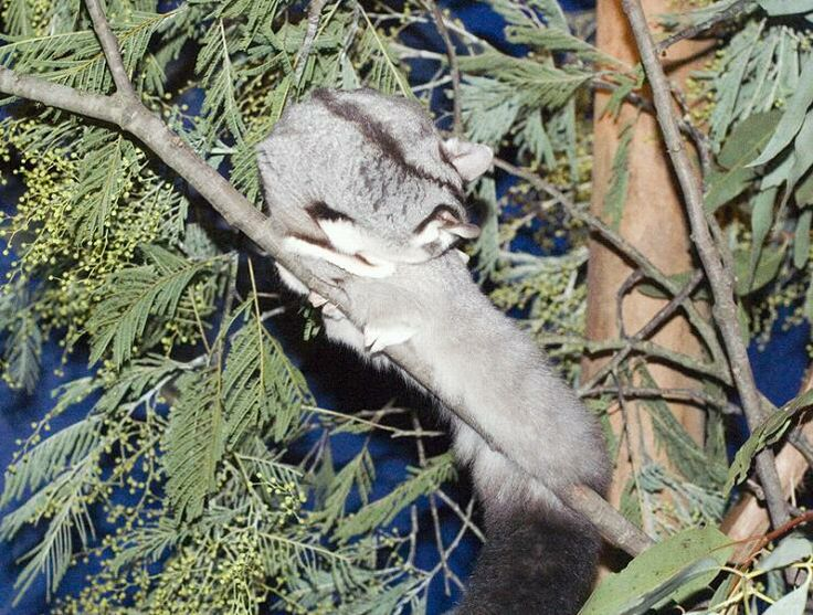 Squirrel Glider   Squirrel glider at Healesville Sanctuary who wanted to remain ...