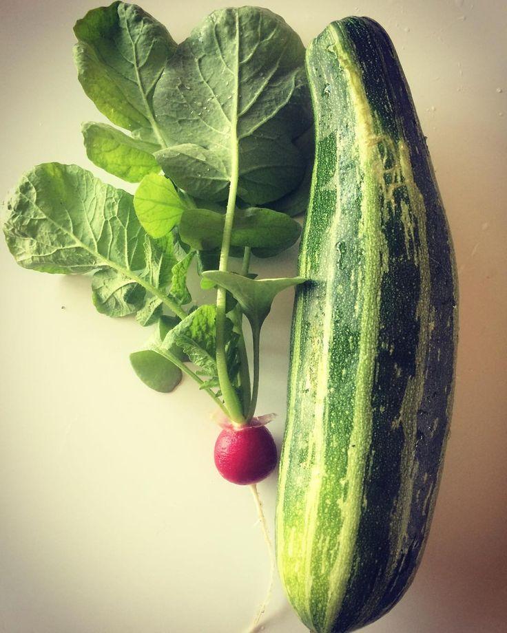 Finally... some 'normaal' veggies  - Oef! Er groeien dus ook groenten van normale grootte en in normale vorm in mijn tuin  #radijs  #courgette #zucchini #radish #vegetablegarden #veggies #growyourown #groententuin #groentetuin #growyourownfood #bio #biovegetables #moestuin #mygarden #moestuintje http://ift.tt/2tYMOQ4