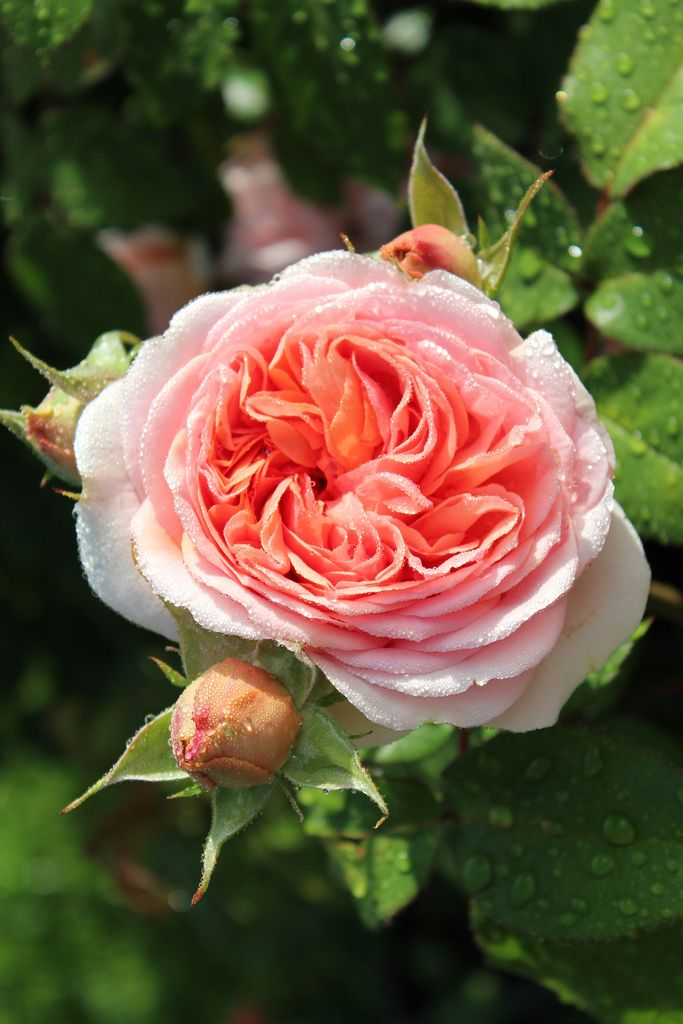 'Chippendale' | Shrub rose. Bred by Hans Jürgen Evers (Germany, 2005) | Flickr - © Lilja Sirpale