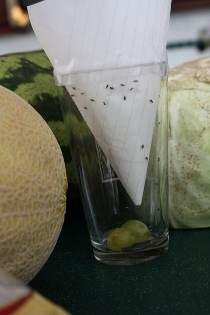 Fruit fly trap.  Genius!