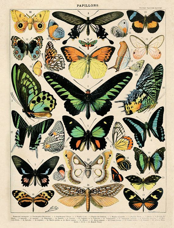 Vintage Anatomy Butterfly Reproduction: This prints comes from a salvaged educational Science plate. The original art is by Adolphe Philippe Millot (1 May 1857, Paris –18 December 1921, also Paris), a