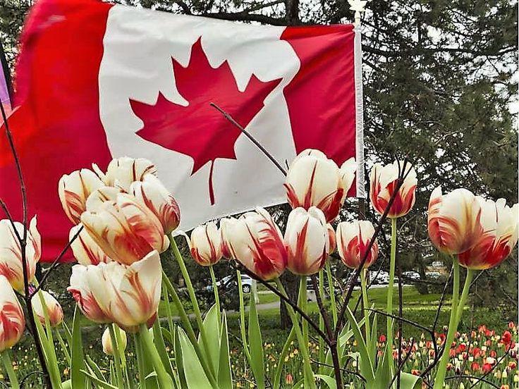'Canada 150' Tulip: 300,000 planted in Ottawa for 2017's Tulip Festival.