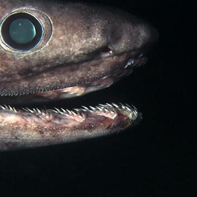 Alien Sharks: The Frilled Shark mini video. Also:   http://en.wikipedia.org/wiki/Frilled_shark