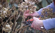 Hortensien richtig schneiden - Beim Schneiden von Hortensien sind viele…
