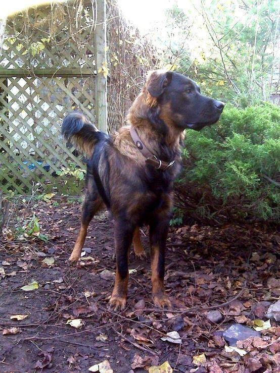 Took, Sara's dog.  Rottweiler/Irish Wolfhound mix