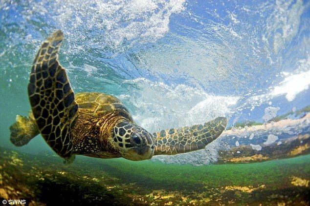 photos of waves in hawaii | Here comes the wave: A giant Hawaiian Sea Turtle prepares to ride the ...