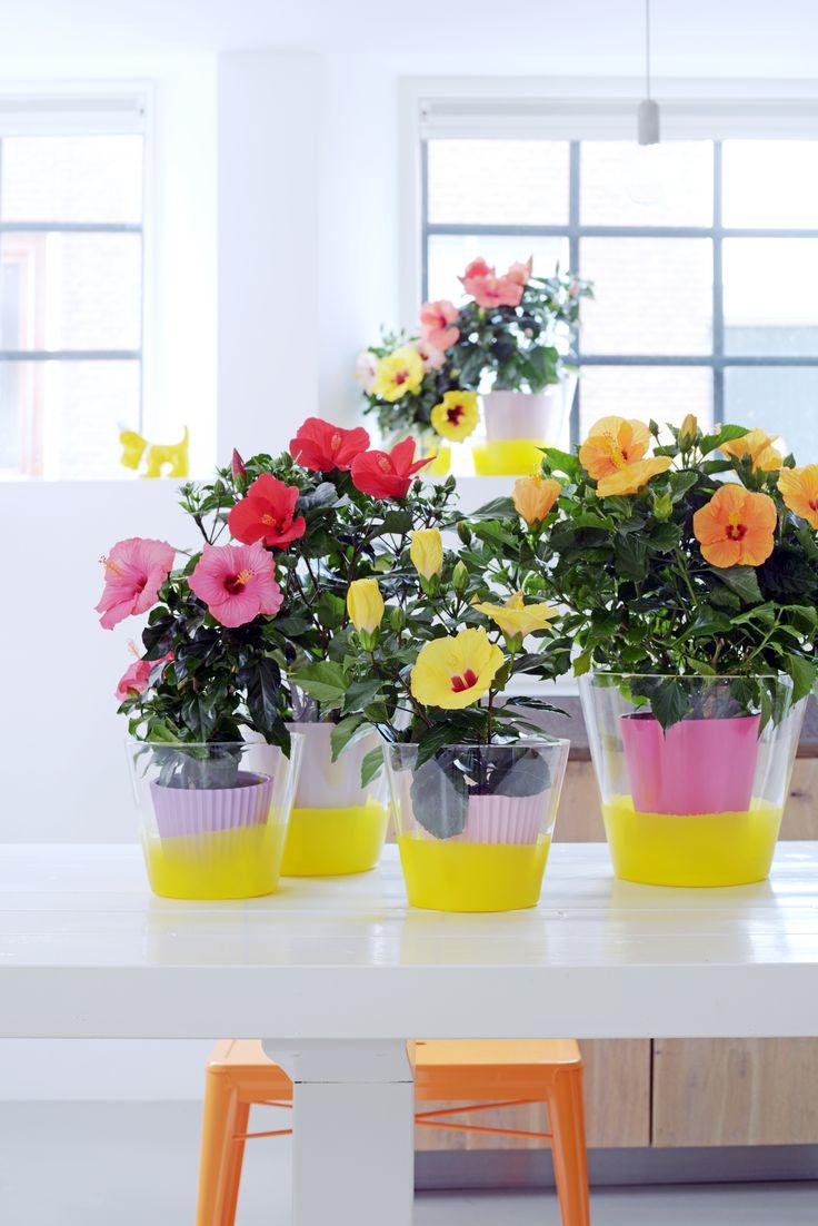 De echte aandachttrekkers van de Chinese Roos: haar bloemen. Ze bloeien feestelijk in het rood, oranje, geel, paars, roze, wit en met twee kleuren per bloem. #mwpd #woonplant #ChineseRoos #Hibiscus