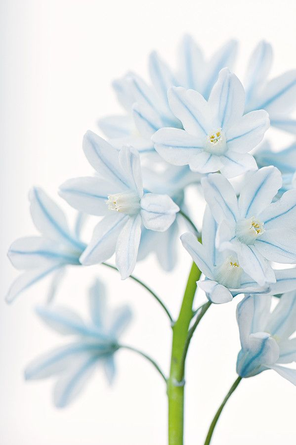 """Striped Squill""♥♥♥♥♥"