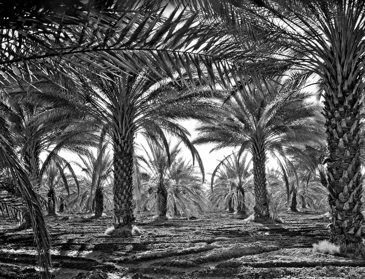 Date palms. Coachella Valley, California, 1937 #coachellavalleyhistory #coachella #dates