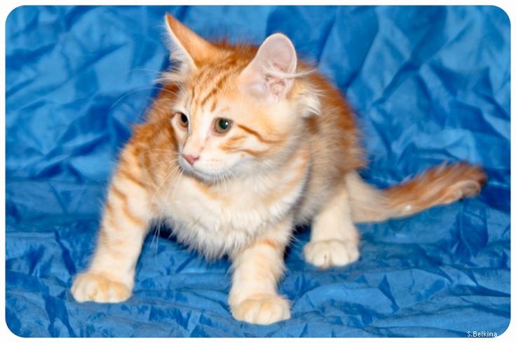Перезагрузка - Аукцион неслыханной щедрости - сибирские котята редких окрасов! :)