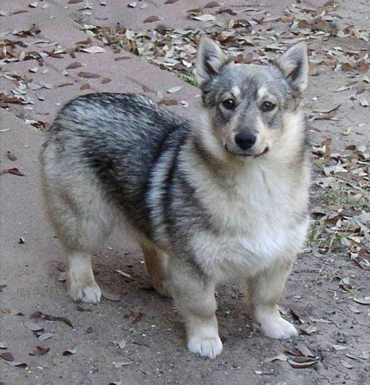 Swedish vallhund so cute!!!