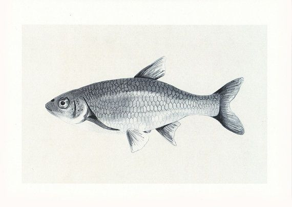 pez ilustración, print pez, dibujo pez, dibujo pescado, dibujo pez lápiz, ilustración animal, dibujo animal realista, print animal marino