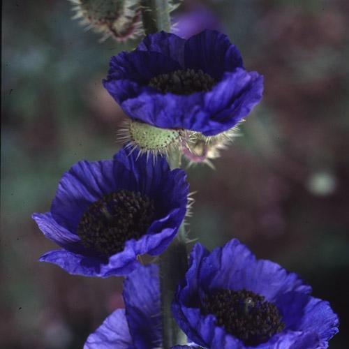 Dwarf blue poppy (Meconopsis Prattii)
