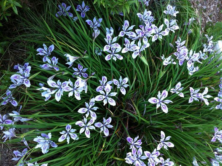 Iris pacific coast hybrid