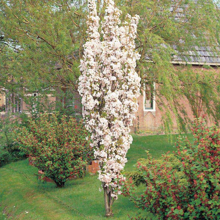 Cherry Amanogawa Columnar Google Search Small Garden Trees Pinterest Trees Prunus And