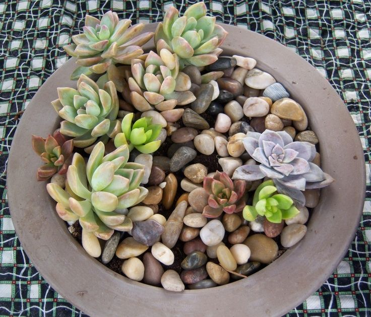 A sweet mini rock garden! Echevarias in multiple colors are set off by a background of neutral-colored, polished pebbles. Works great on an outdoor table or even indoors (within about 5 feet of a natural light source