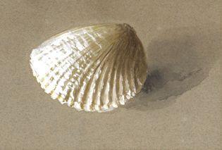 John Ruskin: Study of Cockle-Shell