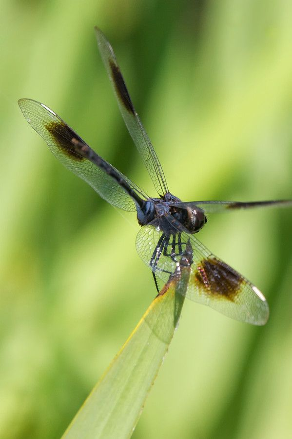 Dragonfly balancing on the top of grass leaf.