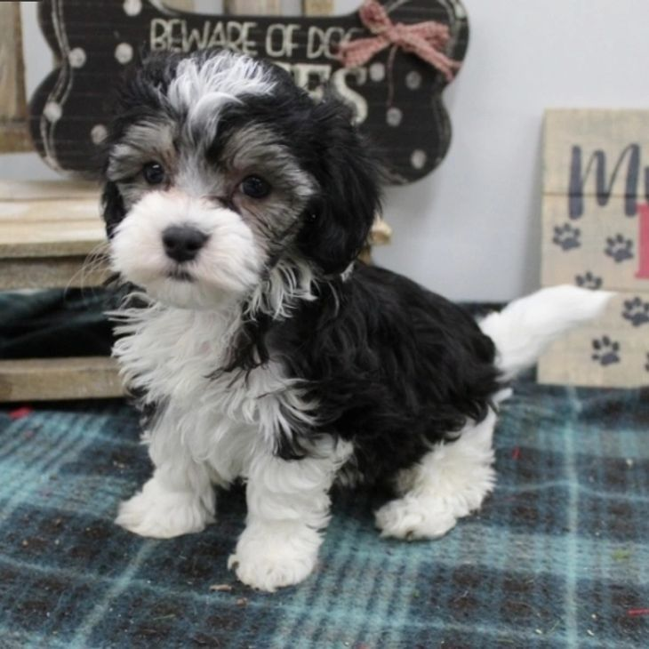 Available Puppies Shih Tzu Breeders Homes In 2020 Shitzu Puppies Shih Tzu Breeders Puppies