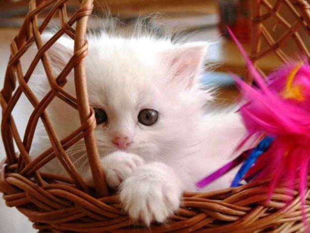 Beautiful White Kitten Cute Baby Cats Baby Cats Cute Cat Wallpaper