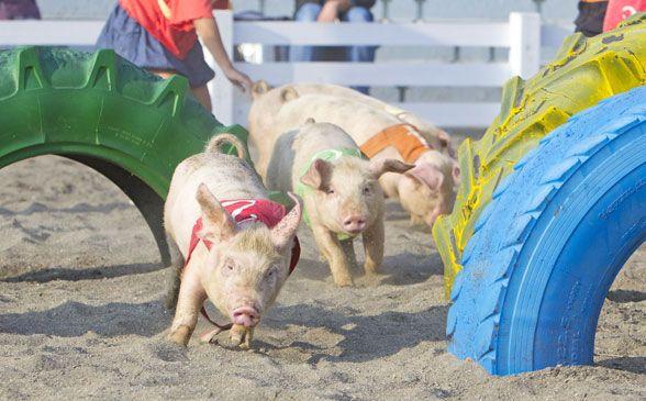 こぶたのレース|動物イベント